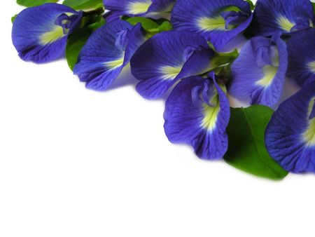 Beautiful blue flower. Pigments from the flower can be used for hair dying or  food color.                                 Stock Photo