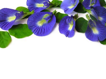 Mooie blauwe bloem. Pigmenten van de bloem kunnen worden gebruikt voor haar sterven of voedsel kleur.  Stockfoto
