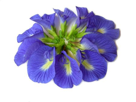 dicot: Beautiful blue flower. Pigments from the flower can be used for hair dying or  food color.