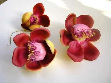 Beautiful, exotic and fragrant Cannonball flower is found in Asia, Africa and in South America in Amazon rainforests.