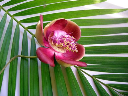 Beautiful, exotic and fragrant Cannonball flower is found in Asia, Africa and in South America in Amazon rainforests.                                Stock Photo