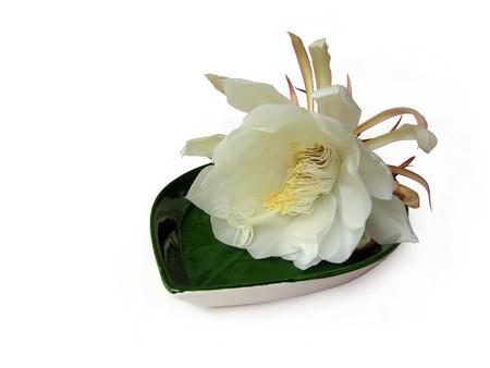 De Bramha Kamal is een zeldzame lotus vernoemd naar lord Brahma, de Schepper in Indische mythologie. Het is van mening dat deze prachtige bloem, orchidee cactus - cereus, bloeit slechts éénmaal per jaar tijdens de nacht. Het wordt beschouwd als zeer gelukkig om het te zien bloeien en bloemen