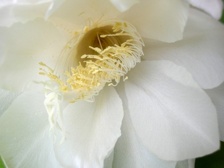 The Bramha Kamal is a rare lotus named after lord Brahma, the creator in Indian Mythology. It is believed that this beautiful flower, orchid cactus - cereus, blooms only once a year during nighttime. It is considered very lucky to see it bloom and blooms  photo