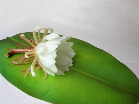 The Bramha Kamal is a rare lotus named after lord Brahma, the creator in Indian Mythology. It is believed that this beautiful flower, orchid cactus - cereus, blooms only once a year during nighttime. It is considered very lucky to see it bloom and blooms Stock Photo - 7422230