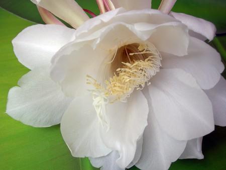 De Bramha Kamal is een zeldzame lotus vernoemd naar lord, de Schepper in Indische mythologie. Het is van mening dat deze prachtige bloem, orchidee cactus - cereus, bloeit slechts éénmaal per jaar tijdens de nacht. Het wordt beschouwd als zeer gelukkig om het te zien bloeien en bloemen rond