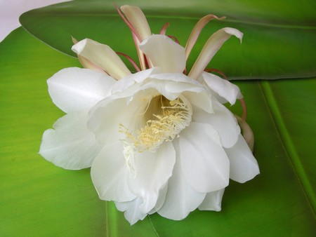 The Bramha Kamal is a rare lotus named after lord , the creator in Indian Mythology. It is believed that this beautiful flower, orchid cactus - cereus, blooms only once a year during nighttime. It is considered very lucky to see it bloom and blooms around Stock Photo
