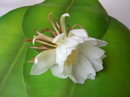 The Bramha Kamal is a rare lotus named after lord Brahma, the creator in Indian Mythology. It is believed that this beautiful flower, orchid cactus - cereus, blooms only once a year during nighttime. It is considered very lucky to see it bloom and blooms