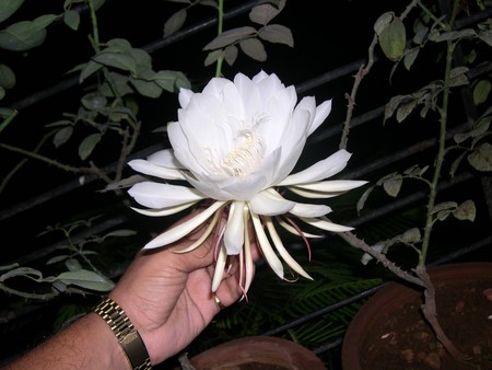 The Bramha Kamal is a rare lotus named after lord Bramha, the creator in Indian Mythology. It is believed that this beautiful flower, orchid cactus - cereus, blooms only once a year during nighttime. It is considered very lucky to see it bloom and blooms