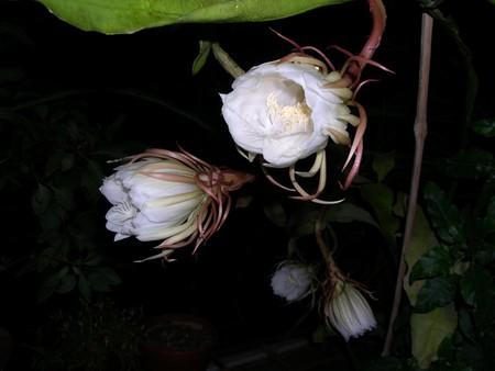 De Bramha Kamal is een zeldzame lotus vernoemd naar de heer Bramha, de Schepper in Indische mythologie. Het is van mening dat deze prachtige bloem, orchidee cactus - cereus, bloeit slechts éénmaal per jaar tijdens de nacht. Het wordt beschouwd als zeer gelukkig om het te zien bloeien en bloemen