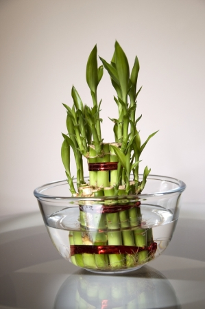 Lucky Bamboo stalks tied with red ribbon symoblising fire,  Kept on the glass table in a glass bowl with water