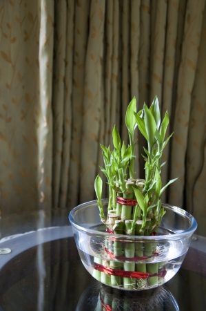 Lucky Bamboo stalks tied with red ribbon symoblising fire,  Kept on a glass table in a glass bowl with water