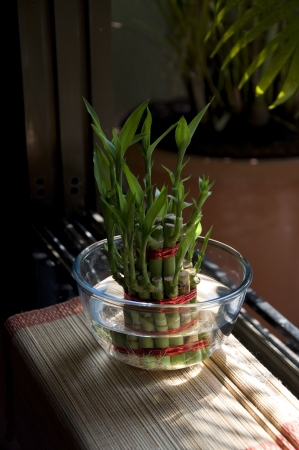 Lucky Bamboo stalks tied with red ribbon symoblising fire,  Kept near window in a glass bowl with water on a wooven bamboo mat