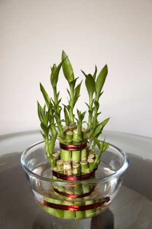 Lucky Bamboo stalks tied with red ribbon symoblising fire,  Kept on the wooden and glass table, in a glass bowl with water  Stock Photo - 15488723