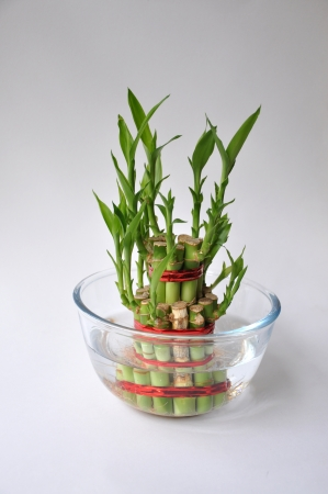 Lucky Bamboe stengels gebonden met rood lint symoblising brand, bewaard in een glazen kom met water Stockfoto