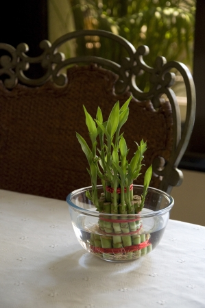 Lucky Bamboo stalks tied with red ribbon symoblising fire,  Kept on the dinning table in a glass bowl with water