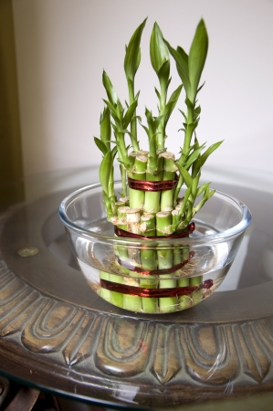 Lucky Bamboo stalks tied with red ribbon symoblising fire,  Kept on the wooden and glass table, in a glass bowl with water