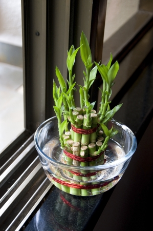 Lucky Bamboo stalks tied with red ribbon symoblising fire,  Kept near window in a glass bowl with water  Stock Photo - 15488729