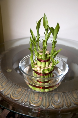 Lucky Bamboo stalks tied with red ribbon symoblising fire,  Kept on the glass and wooden carved table in a glass bowl with water  Stock Photo