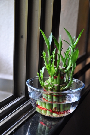 Lucky Bamboo stalks tied with red ribbon symoblising fire,  Kept near window in a glass bowl with water  Stock Photo