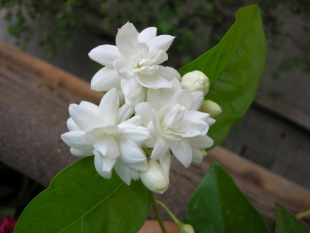duke: Mogra is a beautiful fragrant white flower from Jasmine family