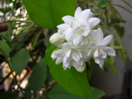 Mogra is een mooie geurige witte bloem van Jasmine familie