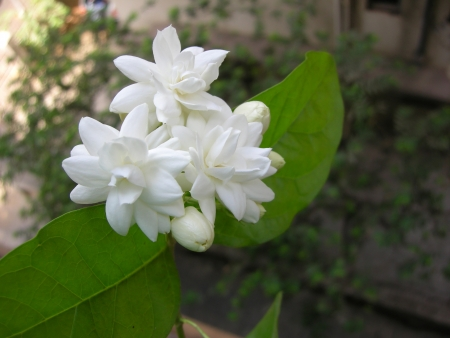 Mogra Ist Eine Schöne Duftende Weiße Blume Von Jasmine Familie ...