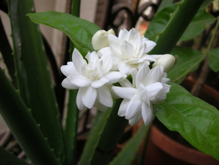 Mogra is a beautiful fragrant white flower from Jasmine family