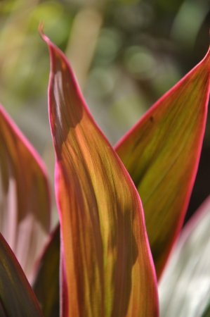 Close-up shots of brightly colored Hawaiian Red Ti Plant Eight.