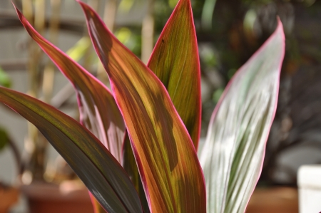 Close-up shots of brightly colored Hawaiian Red Ti Plant Five.
