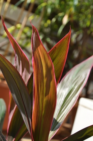 Close-up shots of brightly colored Hawaiian Red Ti Plant Nine. Stock Photo