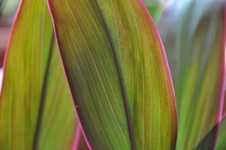 Close-up shots of brightly colored Hawaiian Red Ti Plant One. Stock Photo
