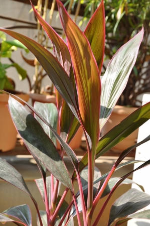 cordyline: Close-up shots of brightly colored Hawaiian Red Ti Plant Six.