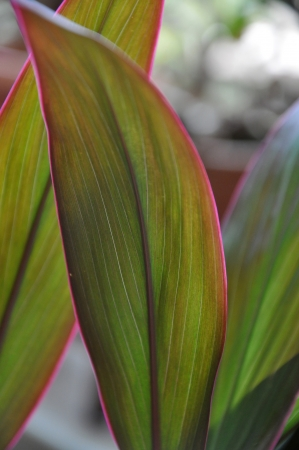 Close-up shots of brightly colored Hawaiian Red Ti Plant Two.