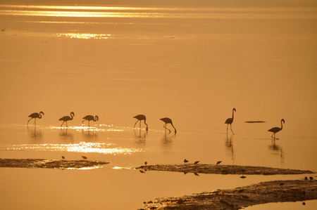 freshwater bird: Flamingos  one  A beautiful silhouette of Flamingos in sparkling water.