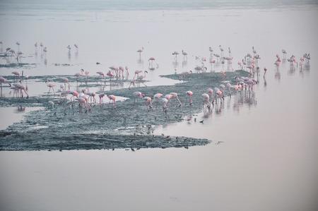 Flamingos  five   A beautiful flock of Flamingos in serene water.