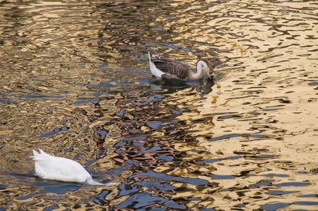 Duck Two  Two white ducks swimming in golden sparkling water.