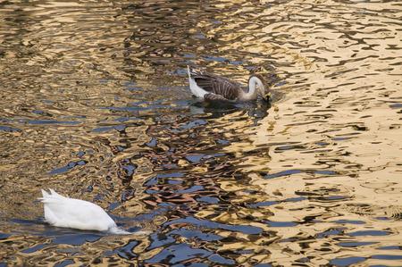 Eend Twee Twee witte eenden zwemmen in gouden sprankelend water. Stockfoto