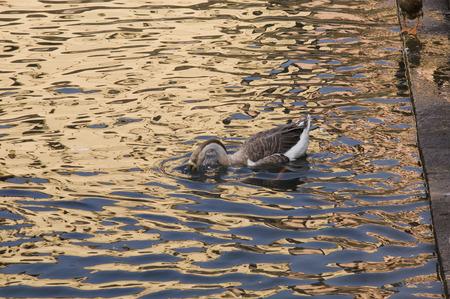 Eend Drie Een leuke kleine eend zwemmen in gouden sprankelend water.