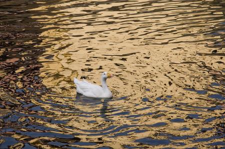 Eend One Een witte eend zwemmen in gouden sprankelend water.