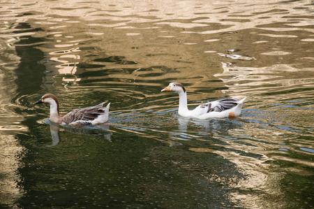 Eend Vier Twee witte eenden zwemmen in gouden sprankelend water.