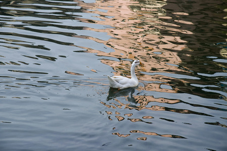 Duck Seven - A white duck swimming in blue sparkling water. Stock Photo