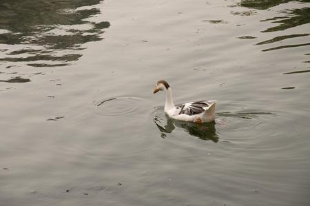 Duck Acht - Een witte eend zwemmen in rustig, rustig water.