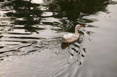 Duck Nine - Een witte eend zwemmen in rustig, rustig water.