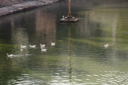 Duck Eleven - White ducks swimming in green sparkling water. Stock Photo
