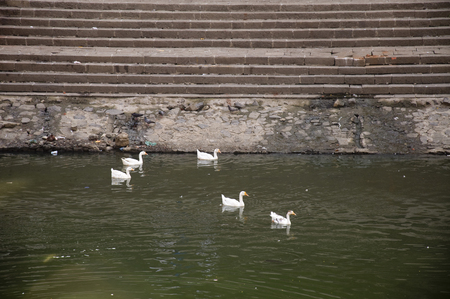 Duck Thirteen - White ducks swimming in sparkling green water. Stock Photo
