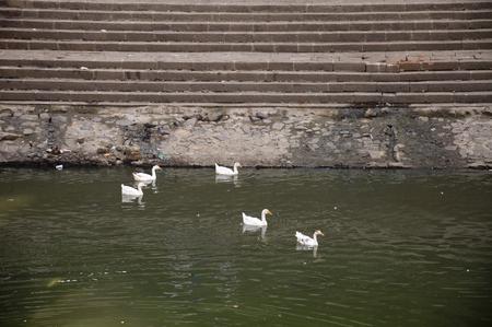 Eend Dertien - Witte eenden zwemmen in sprankelend groen water.