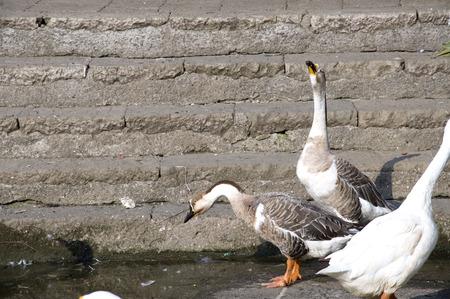Duck Eighteen - Dancing Ducks Stock Photo