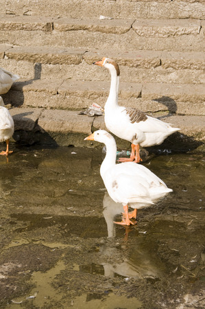 Duck Nineteen - Two white Ducks in a Symetrical pose.