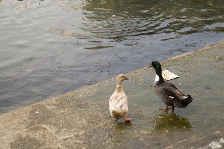 Duck Twentee One - Two cute ducks strolling around the pond