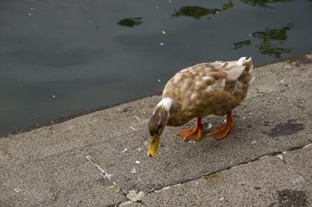 Duck Twentee Four - A cute little duck taking a stroll around the pond